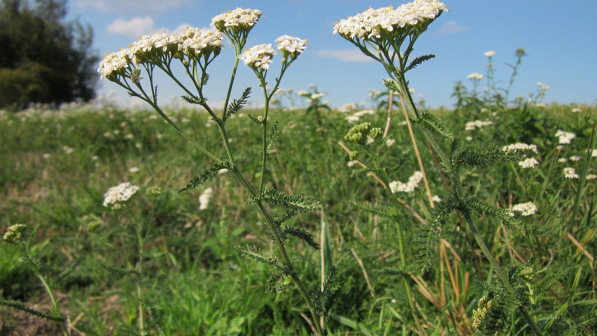 Wild Meadow Flowers: